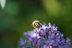Κινηματογράφηση σε πρώτο πλάνο μιας μέλισσας σε ένα Buddleja Στοκ Φωτογραφία