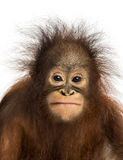 Κινηματογράφηση σε πρώτο πλάνο μιας νέας orangutan Bornean αντιμετώπισης Στοκ Εικόνες