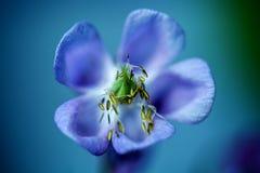 Κινηματογράφηση σε πρώτο πλάνο μπλε Aquilegia - columbine που ανθίζει πέρα από το υπόβαθρο φύσης Στοκ Φωτογραφίες