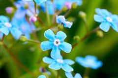 Κινηματογράφηση σε πρώτο πλάνο μπλε forget-me-nots λουλουδιών Θόλωσε το υπόβαθρο προαστιακός περίπατος άνοιξη ημέρας δασικός Στοκ Εικόνες