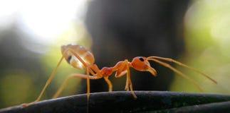 κινηματογράφηση σε πρώτο πλάνο μυρμηγκιών Στοκ Εικόνα