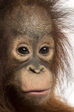 Κινηματογράφηση σε πρώτο πλάνο νέος orangutan Bornean, που εξετάζει τη κάμερα Στοκ φωτογραφίες με δικαίωμα ελεύθερης χρήσης