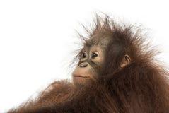 Κινηματογράφηση σε πρώτο πλάνο νέος orangutan Bornean του σχεδιαγράμματος, που κοιτάζει μακριά Στοκ Εικόνα