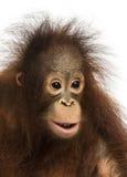 Κινηματογράφηση σε πρώτο πλάνο νέος orangutan Bornean, pygmaeus Pongo Στοκ Φωτογραφίες