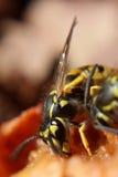 Κινηματογράφηση σε πρώτο πλάνο να ταΐσει Hornet με τη σαπίζοντας Apple Στοκ Εικόνα