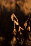 Κινηματογράφηση σε πρώτο πλάνο λοβών σόγιας Στοκ Φωτογραφία