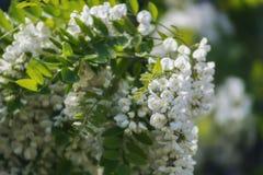Κινηματογράφηση σε πρώτο πλάνο λουλουδιών ακακιών Άνθιση δέντρων ακακιών στοκ εικόνες με δικαίωμα ελεύθερης χρήσης