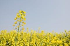 Κινηματογράφηση σε πρώτο πλάνο λουλουδιών βιασμών Στοκ εικόνες με δικαίωμα ελεύθερης χρήσης