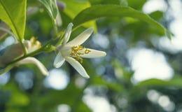 Κινηματογράφηση σε πρώτο πλάνο λουλουδιών λεμονιών Στοκ εικόνες με δικαίωμα ελεύθερης χρήσης