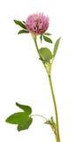 Κινηματογράφηση σε πρώτο πλάνο λουλουδιών λιβαδιών τριφυλλιού που απομονώνεται στο λευκό Στοκ Φωτογραφία