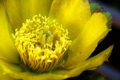 Κινηματογράφηση σε πρώτο πλάνο λουλουδιών κάκτων τραχιών αχλαδιών orton Στοκ εικόνα με δικαίωμα ελεύθερης χρήσης