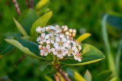 Κινηματογράφηση σε πρώτο πλάνο λουλουδιών και φύλλων melanocarpa Aronia Στοκ φωτογραφία με δικαίωμα ελεύθερης χρήσης