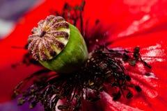 Κινηματογράφηση σε πρώτο πλάνο λουλουδιών παπαρουνών μέσα Στοκ φωτογραφία με δικαίωμα ελεύθερης χρήσης