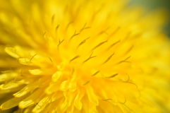 Κινηματογράφηση σε πρώτο πλάνο λουλουδιών πικραλίδων Στοκ Εικόνες