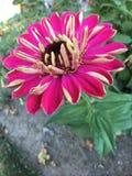 Κινηματογράφηση σε πρώτο πλάνο λουλουδιών της Daisy κατά μήκος του υποβάθρου πορειών κήπων Στοκ εικόνες με δικαίωμα ελεύθερης χρήσης