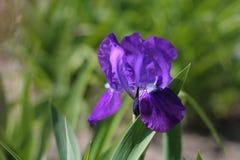 Κινηματογράφηση σε πρώτο πλάνο λουλουδιών της Iris Στοκ φωτογραφίες με δικαίωμα ελεύθερης χρήσης