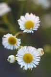 Κινηματογράφηση σε πρώτο πλάνο λουλουδιών των όμορφων κίτρινων και άσπρων μαργαριτών στο πράσινο ν Στοκ εικόνες με δικαίωμα ελεύθερης χρήσης