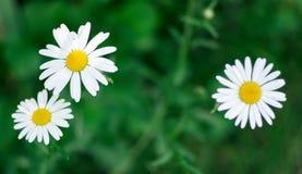 Κινηματογράφηση σε πρώτο πλάνο λουλουδιών των όμορφων κίτρινων και άσπρων μαργαριτών στο πράσινο ν Στοκ Εικόνες