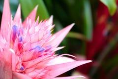 Κινηματογράφηση σε πρώτο πλάνο λουλουδιών Aechmea Στοκ φωτογραφία με δικαίωμα ελεύθερης χρήσης