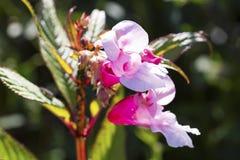 Κινηματογράφηση σε πρώτο πλάνο λουλουδιών Antirrhinum, ρόδινο λουλούδι Στοκ φωτογραφία με δικαίωμα ελεύθερης χρήσης