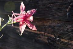 Κινηματογράφηση σε πρώτο πλάνο λουλουδιών Aquilegia Στοκ Εικόνα