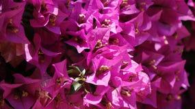 Κινηματογράφηση σε πρώτο πλάνο λουλουδιών Bougainvillea Στοκ φωτογραφία με δικαίωμα ελεύθερης χρήσης