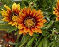 Κινηματογράφηση σε πρώτο πλάνο λουλουδιών Gazania Στοκ εικόνα με δικαίωμα ελεύθερης χρήσης