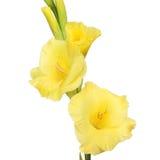 Κινηματογράφηση σε πρώτο πλάνο λουλουδιών Gladioli Στοκ φωτογραφία με δικαίωμα ελεύθερης χρήσης