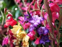 Κινηματογράφηση σε πρώτο πλάνο λουλουδιών Gladiolus Στοκ Εικόνα