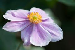 Κινηματογράφηση σε πρώτο πλάνο λουλουδιών hupehensis Anemone Στοκ Φωτογραφία