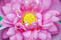 Κινηματογράφηση σε πρώτο πλάνο λουλουδιών Lotus Στοκ φωτογραφίες με δικαίωμα ελεύθερης χρήσης