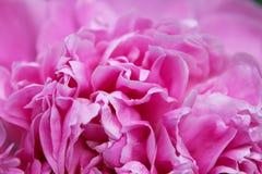 Κινηματογράφηση σε πρώτο πλάνο λουλουδιών Peony Στοκ εικόνες με δικαίωμα ελεύθερης χρήσης