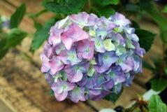 Κινηματογράφηση σε πρώτο πλάνο λουλουδιών Phlox Στοκ Φωτογραφίες