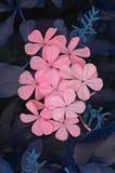 Κινηματογράφηση σε πρώτο πλάνο λουλουδιών Plumbago Στοκ Εικόνα