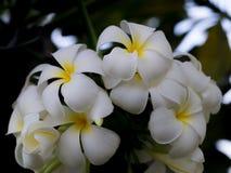 Κινηματογράφηση σε πρώτο πλάνο λουλουδιών Plumeria Στοκ εικόνες με δικαίωμα ελεύθερης χρήσης