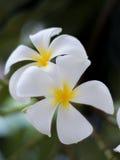 Κινηματογράφηση σε πρώτο πλάνο λουλουδιών Plumeria Στοκ φωτογραφία με δικαίωμα ελεύθερης χρήσης