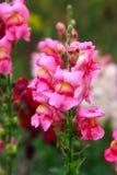 Κινηματογράφηση σε πρώτο πλάνο λουλουδιών Snapdragon Στοκ Φωτογραφία