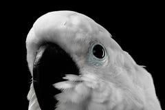 Κινηματογράφηση σε πρώτο πλάνο λοφιοφόρο Cockatoo alba, ομπρέλα, Ινδονησία, που απομονώνεται στο μαύρο υπόβαθρο Στοκ Φωτογραφίες