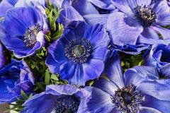 Κινηματογράφηση σε πρώτο πλάνο παπαρουνών μιας των μπλε και πορφυρών κλίσης anemones Πολλά λουλούδια - μεγάλο υπόβαθρο χειμερινό  Στοκ Φωτογραφίες