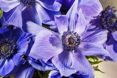 Κινηματογράφηση σε πρώτο πλάνο παπαρουνών μιας των μπλε και πορφυρών κλίσης anemones Πολλά λουλούδια - μεγάλο υπόβαθρο χειμερινό  Στοκ Εικόνα