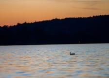 Κινηματογράφηση σε πρώτο πλάνο παπιών ηλιοβασιλέματος Στοκ φωτογραφίες με δικαίωμα ελεύθερης χρήσης
