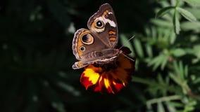 Κινηματογράφηση σε πρώτο πλάνο πεταλούδων Στοκ Εικόνες