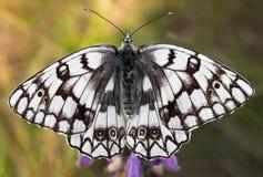 Κινηματογράφηση σε πρώτο πλάνο πεταλούδων Στοκ Φωτογραφίες