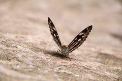 Κινηματογράφηση σε πρώτο πλάνο πεταλούδων Στοκ Εικόνα
