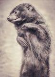 Κινηματογράφηση σε πρώτο πλάνο πορτρέτου νάνο mongoose στη σέπια Στοκ εικόνα με δικαίωμα ελεύθερης χρήσης