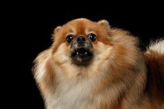 Κινηματογράφηση σε πρώτο πλάνο που αποφλοιώνει το κόκκινο Spitz Pomeranian σκυλί, απομονωμένο ο Μαύρος υπόβαθρο Στοκ φωτογραφίες με δικαίωμα ελεύθερης χρήσης