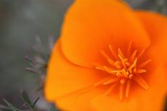 Κινηματογράφηση σε πρώτο πλάνο που βλασταίνεται του όμορφου λουλουδιού παπαρουνών Καλιφόρνιας χρυσού Στοκ φωτογραφία με δικαίωμα ελεύθερης χρήσης
