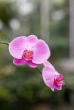 Κινηματογράφηση σε πρώτο πλάνο που βλασταίνεται των λουλουδιών ορχιδεών Στοκ Εικόνες