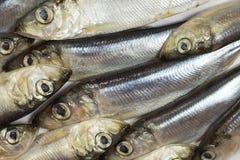 Κινηματογράφηση σε πρώτο πλάνο ρεγγών ψαριών θάλασσας Στοκ Φωτογραφία