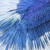Κινηματογράφηση σε πρώτο πλάνο σε ένα δέρμα ψαριών - μπλε σιαμέζα ψάρια πάλης στοκ εικόνες